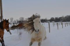 Pferde im Schnee lizenzfreie stockfotografie