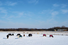 Pferde im Schnee Stockfoto