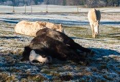 Pferde im Schnee Lizenzfreies Stockfoto