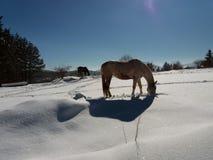 Pferde im Schnee mit der Reflexion des Sonnenlichts Stockbild