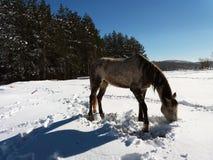 Pferde im Schnee mit der Reflexion des Sonnenlichts Lizenzfreie Stockfotografie