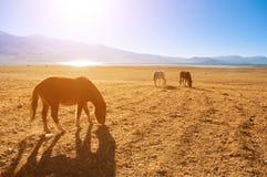 Pferde im Sonnenaufgang, Tsomoriri, Indien Stockfotos