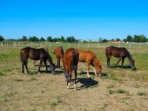 Pferde im Stift-Bauernhof lizenzfreie stockbilder