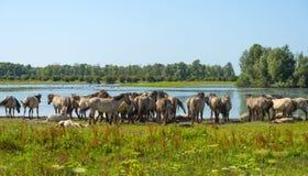 Pferde im Sumpfgebiet im Sommer stockbild