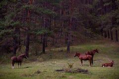 Pferde im Wald Stockfoto