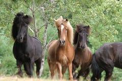 Pferde isländisch lizenzfreies stockbild