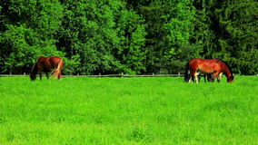 Pferde lassen auf grünem Feld weiden Herdenpferde, die auf Weide weiden lassen Landwirtschaftliche Landschaft stock footage