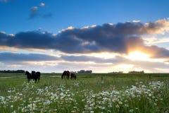 Pferde lassen auf Weide bei Goldsonnenuntergang weiden Lizenzfreie Stockbilder