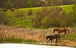 Pferde lassen in den Wiesen weiden. Stockbild