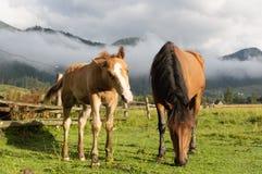 Pferde lassen in der sonnen-durchnäßten Wiese weiden Berge von Ukraine Lizenzfreies Stockfoto