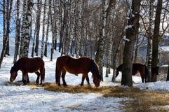 Pferde lassen in einem schneebedeckten Wald weiden Stockfoto