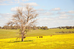 Pferde lassen friedlich unter dem Gras und dem Gelbblumen fie weiden Stockfoto