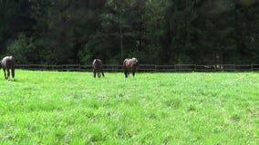 Pferde laufen frei auf Koppel stock video footage