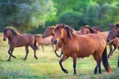 Pferde laufen gelassen auf Wiese lizenzfreie stockfotos