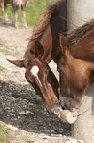 Pferde lecken Leckstein Lizenzfreie Stockfotografie