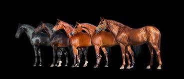 Pferde lokalisiert auf Schwarzem Gruppe verschiedene Pferde, die auf schwarzem Hintergrund stehen Lizenzfreie Stockfotografie