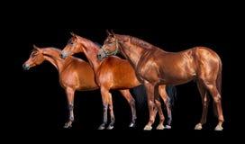 Pferde lokalisiert auf Schwarzem Gruppe von drei Pferden, die auf schwarzem Hintergrund stehen Lizenzfreie Stockfotos