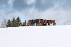 Pferde mit Heu im Winter Stockbilder