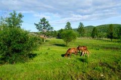 Pferde in Mongolei stockfotografie