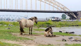 Pferde nahe der Waalbrug-Brücke, Nijmegen, die Niederlande Lizenzfreie Stockfotografie