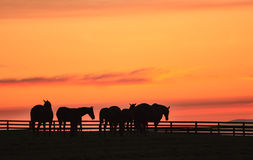 Pferde am Sonnenaufgang Stockfoto