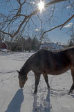 2017-02-10 Pferde u. Schnee Stockfoto