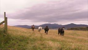 Pferde und ein grasartiges Feld stock footage