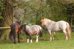 Pferde und ein Pony im Abendtageslicht Lizenzfreie Stockfotografie