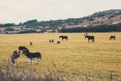 Pferde und Esel lassen auf der Wiese weiden Lizenzfreies Stockbild