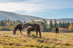 Pferde und Hügel Stockfotografie