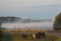 Pferde und Kühe auf einer Weide im Nebel Stockfotos