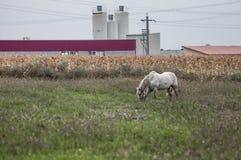 Pferde- und Maisfeld Stockfotografie