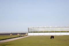 Pferde und Pony, die vor Gewächshäusern weiden lassen Stockbilder