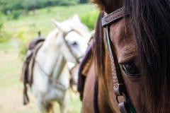 Pferde versiegelten für Fahrt auf dem Gebiet lizenzfreie stockfotos