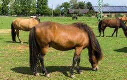 Pferde Vieh auf Wiese Lizenzfreie Stockfotos