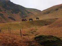 Pferde von Island Stockfotografie
