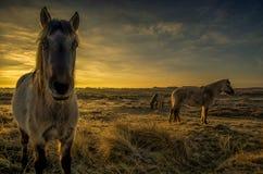 Pferde während des Sonnenaufgangs Stockbild