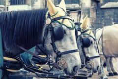 Pferde in Wien Lizenzfreies Stockfoto
