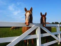 Pferde am Zaun Stockbilder