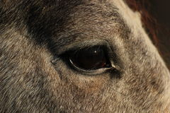 Pferdeauge Stockfoto
