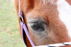 Pferdeauge Lizenzfreies Stockfoto