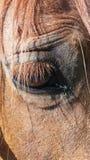 Pferdeauge eins Stockfotografie