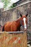 Pferdeausstellung: ein Pferd in seinem Kasten lizenzfreies stockbild