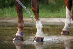 Pferdebeine, die mit Wasser vom Schlauch gewaschen werden Stockbild