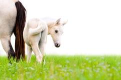 Pferdefohlen, das auf Weiß lokalisiert schaut Stockfoto