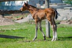 Pferdefohlen, das in eine Wiese geht Stockbild