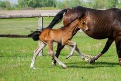Pferdefohlen, das in eine Wiese geht Lizenzfreie Stockfotografie