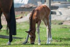 Pferdefohlen, das in eine Wiese geht Lizenzfreies Stockfoto