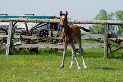 Pferdefohlen, das in eine Wiese geht Lizenzfreie Stockfotos