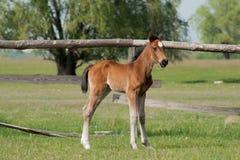 Pferdefohlen, das in eine Wiese geht Stockfoto